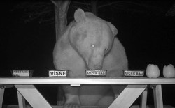 Thấy lũ gấu cứ đêm đến là lại đột nhập trang trại để ăn vụng, bác kĩ sư biến luôn chúng thành đội ngũ nếm mật ong chuyên nghiệp