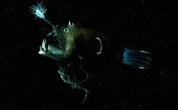 Cá lồng đèn: tên dễ thương nhưng mặt thì khì không thương nổi và có những hành vi đáng sợ nhất đại dương