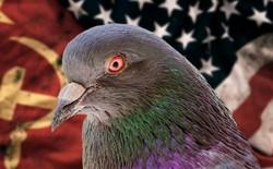 CIA từng áp dụng phương pháp truyền tin ngày xưa bằng cách huấn luyện bồ câu đưa tin mật?