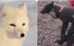 Cáo tuyết Bắc Cực lang thang hơn 4.000 cây số từ Na-Uy sang tận Canada: Lông từ trắng thành xám đen, tưởng hư cấu mà có thật 100%