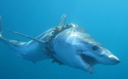 1000 con cá mập đang phải sống hết sức khổ sở - minh chứng rõ ràng nhất về tác hại của nhựa với đại dương