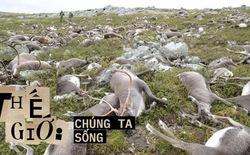 Vùng đất kinh hoàng: Hàng trăm con tuần lộc đồng loạt lăn ra chết, khoa học để mặc chúng phân hủy và đây là những gì đã xảy ra