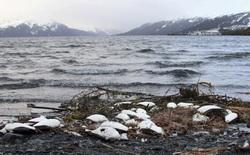 """Biển ấm lên, những """"cụm nhiệt"""" đại dương đã giết chết 1 triệu con chim biển"""