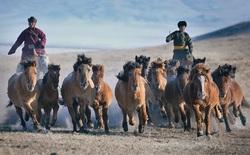 """Đừng thấy """"thấp bé, nhẹ cân"""" mà khinh thường, giống ngựa Mông Cổ được Cảnh sát Cơ động Việt Nam sử dụng là hàng """"xịn"""" đấy!"""