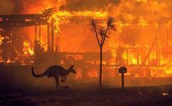 Việc giải cứu động vật hoang dã trong đại thảm họa cháy rừng ở Úc diễn ra như thế nào?
