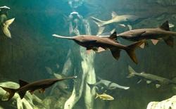 Trung Quốc: Loài cá 200 triệu năm tuổi sống trên sông Trường Giang chính thức bị tuyệt chủng