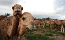 Cháy rừng hoành hành, Australia quyết tiêu diệt 10.000 con lạc đà vì tội...uống quá nhiều nước