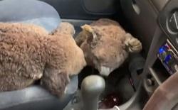 Úc: Hai cậu teen dũng cảm lái xe quanh những khu vực cháy lớn để giải cứu càng nhiều gấu túi koala càng tốt