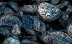 Cú lừa đỉnh cao: Khoa học chế trứng rùa giả để triệt phá một trong những loại tội phạm phổ biến và nguy hiểm nhất với thế giới động vật