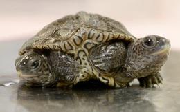 Một con rùa hai đầu quý hiếm vừa được tìm thấy ở Mỹ