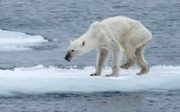 Gấu Bắc Cực có thể biến mất vào cuối thế kỷ này