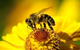 Ai bảo cà phê chỉ tốt cho người? Những con ong được 'uống caffeine' cũng làm việc hiệu quả hơn bình thường