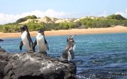 Là biểu tượng của Nam Cực, tại sao chim cánh cụt cũng sống ở xích đạo nhiệt đới?