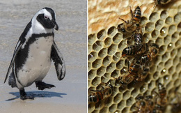 Chọc phải bầy ong mật, 63 con chim cánh cụt bị đốt chết