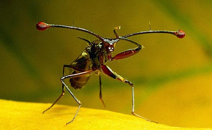 Ruồi cuống mắt: Loài vật sở hữu đôi mắt lồi bất thường nhất trong tự nhiên