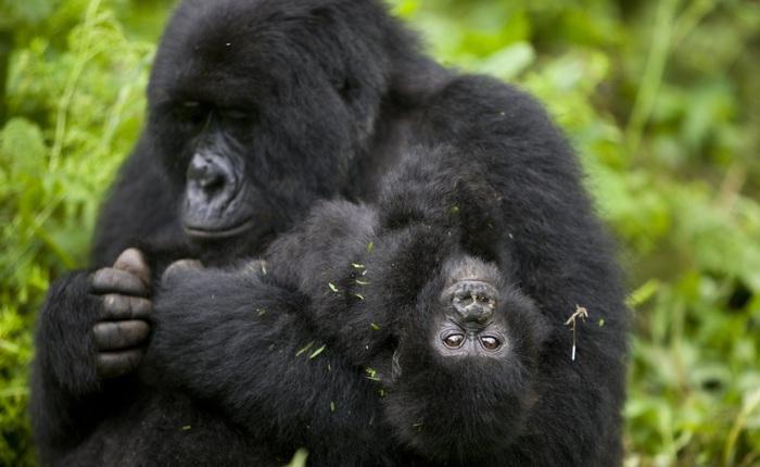 4 con khỉ đột siêu quý hiếm bất ngờ tử vong với vết thương giống hệt nhau, nghi là do sét đánh trúng