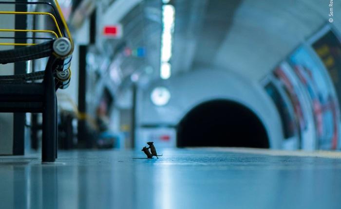 'Chuột đánh nhau dưới tàu điện ngầm' độc đáo trở thành bức ảnh Động vật hoang dã của năm