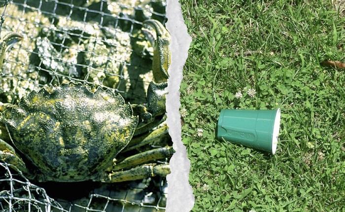 Từ loài gây hại, các nhà khoa học đang có ý định dùng cua xanh để làm nhựa sinh học