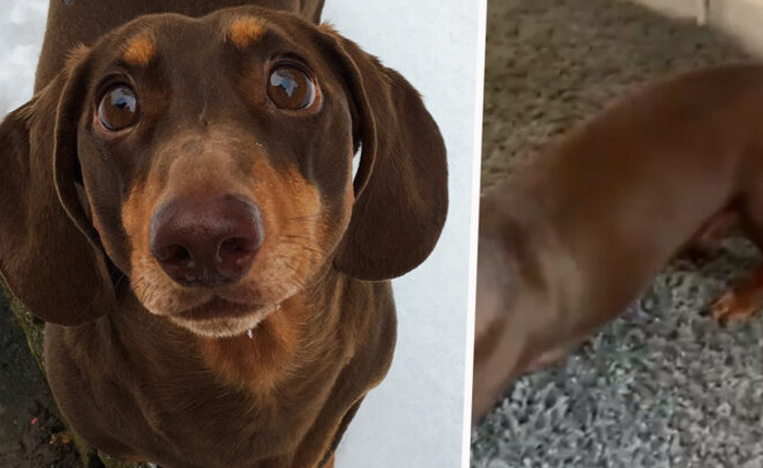 Thấy chủ lúc nào cũng ở nhà vì Covid-19, chú chó mừng quá vẫy đuôi liên tục đến nỗi bong cả gân