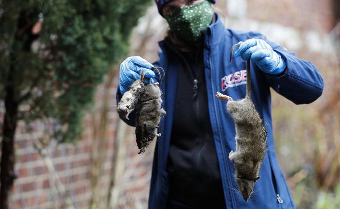 Chuột thành thị ở Mỹ đang phải ăn thịt đồng loại vì các nhà hàng đóng cửa giữa đại dịch COVID-19
