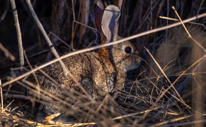 """Virus được mệnh danh là """"bunny Ebola"""" lây lan mạnh, giết chết hàng ngàn con thỏ ở Mỹ"""