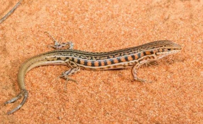 Hóa ra thằn lằn không chỉ mọc lại đuôi sau bị mất, đôi khi chúng mất một nhưng được hai, ba đuôi khác