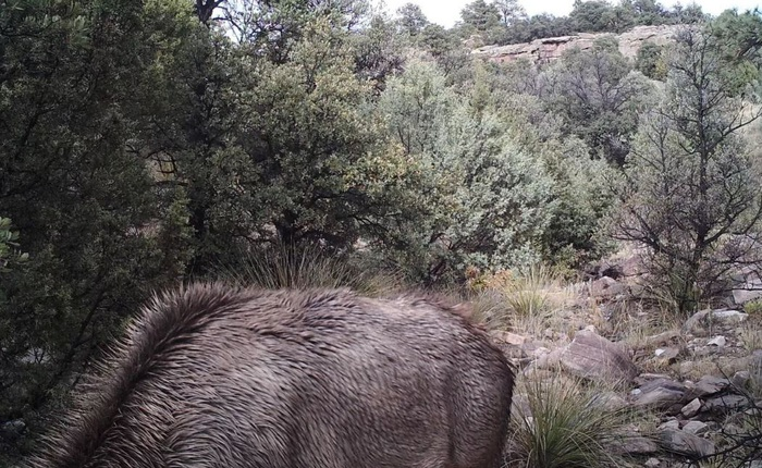 Đố bạn nhìn thấy con sư tử núi trong bức ảnh động vật hoang dã đáng sợ này