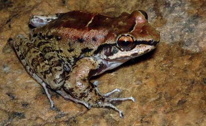 """Ếch Brazil là loài lưỡng cư đầu tiên được biết đến sống theo hình thức đa thê với 2 bạn tình """"chung thủy"""""""