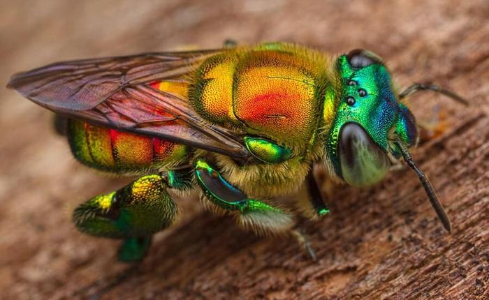 """Ong phong lan, loài vật """"màu mè"""" nhất trong thế giới côn trùng nhưng lại không biết làm mật"""