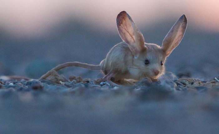 Loài vật tí hon kỳ lạ này trông giống như sự pha trộn giữa chuột, thỏ, lợn và một con chuột túi