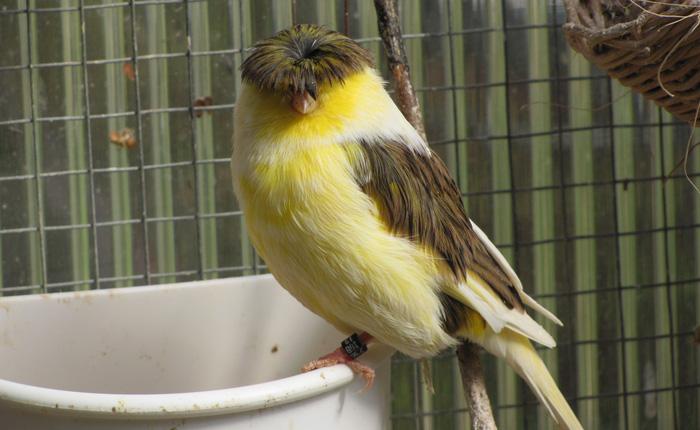 """Gloster Canary: Loài chim kỳ lạ sở hữu """"quả đầu moi"""" cực chất"""