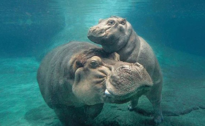 Vì sao loài hà mã lại thích sống dưới nước?