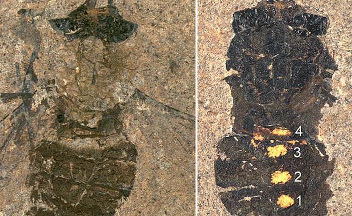 47 triệu năm về trước, bữa ăn của con ruồi có những gì?