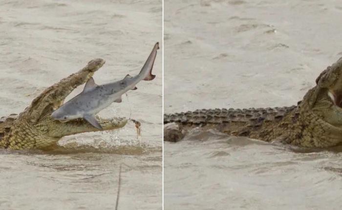 Cá sấu khổng lồ nuốt sống cá mập, khẳng định vị thế bạo chúa tham ăn dưới nước