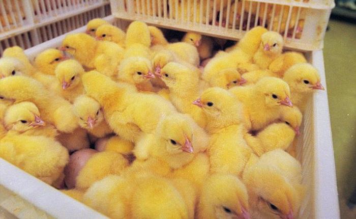 Nước Mỹ treo giải thưởng gấp 5 lần Nobel, cho ai nghĩ ra cách cứu sống 7 tỷ con gà trống mỗi năm