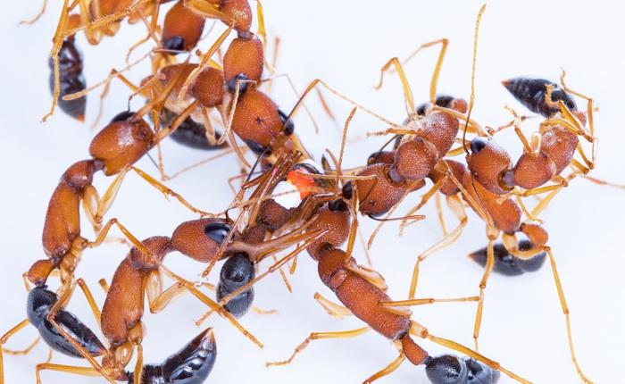 Các nhà khoa học phát hiện loài kiến sẵn sàng giảm kích cỡ bộ não để trở thành kiến chúa