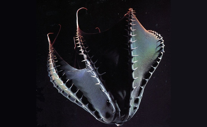 """Vampyroteuthis infernalis: Loài """"ma cà rồng"""" dưới đáy biển sâu"""