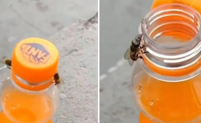 """""""Không thể tin nổi"""": Video bắt quả tang 2 con ong làm việc teamwork để mở nắp một chai nước ngọt?"""