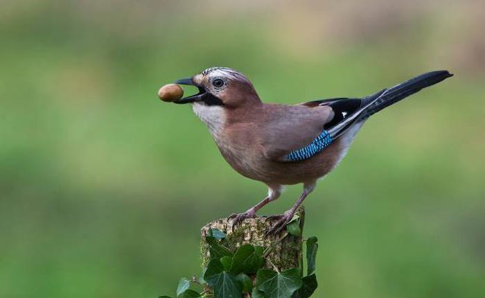 Loài chim này không thể bị ảo thuật đánh lừa, bởi trong tự nhiên chúng cũng là những nhà ảo thuật