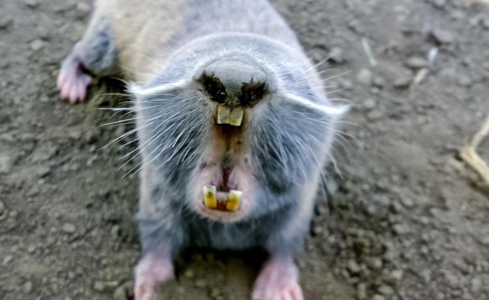 Loài chuột khổng lồ to như con người nhưng não thì bé tí này từng thống trị Brazil thời tiền sử