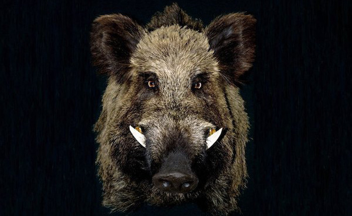 Nước Mỹ đau đầu vì cuộc chiến tranh với siêu lợn: loài xâm hại phá được cả máy bay chiến đấu, trúng đạn mà không chết
