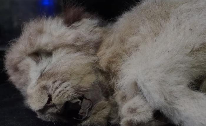 """Nga: Phát hiện sư tử đã """"ngủ giấc ngàn thu"""" được 28.000 năm rồi mà cơ thể được bảo quản gần như hoàn hảo"""
