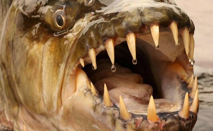 Cá hổ Goliath có thể dài tới 2m, nặng 70kg và thậm chí không sợ cá sấu!