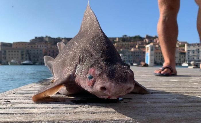 Cá mập mặt lợn - 'Sát thủ mang gương mặt hài hước' ở biển Địa Trung Hải