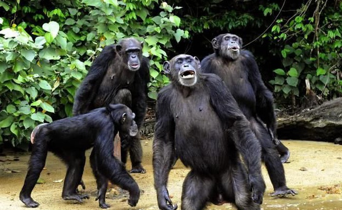 """Rise of the Apes phiên bản thực tế: Bạn sẽ bị """"ăn tươi nuốt sống"""" khi dám đến gần lãnh thổ của chúng!"""