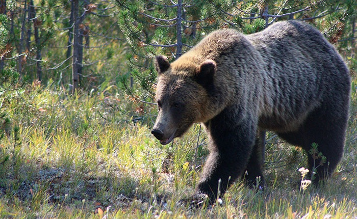 Nhặt được chiếc GoPro trong rừng, tay thợ săn 'sững người' khi phát hiện nó chứa đầy những thước phim tự quay của một con gấu