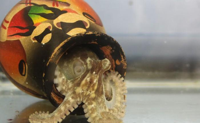 """Các nhà khoa học nghĩ rằng bạch tuộc là """"người ngoài hành tinh"""""""
