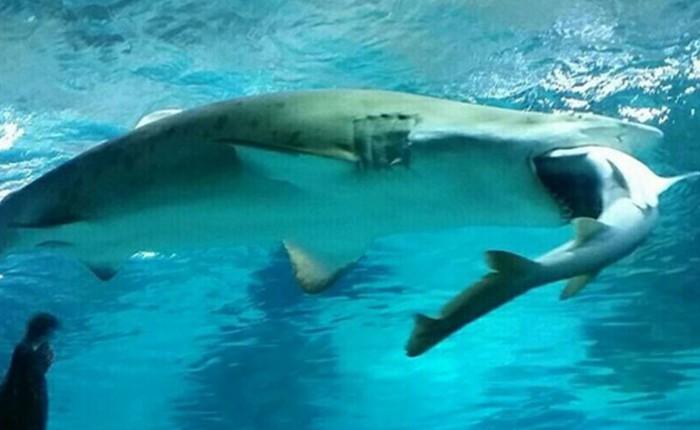 [Video] Xem cá mập cái nuốt chửng con đực tại Hàn Quốc