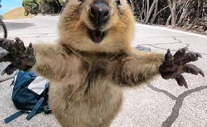 """Quokka - Loài động vật hạnh phúc nhất thế giới cũng nghiện """"sống ảo"""" chẳng khác gì con người"""