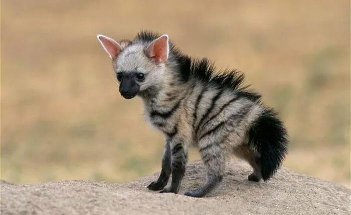 Không phải sói cũng không phải linh cẩu, loài động vật dễ thương này đã tồn tại trên trái đất từ rất lâu rồi